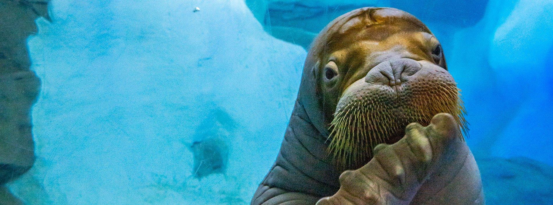 Walrus at SeaWorld San Diego