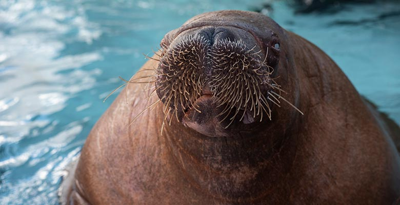 SeaWorld San Diego Walrus Basa