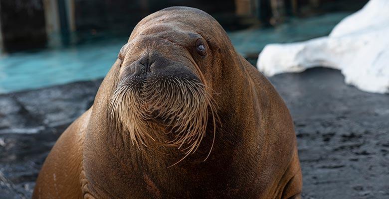 SeaWorld San Diego Walrus Kulu