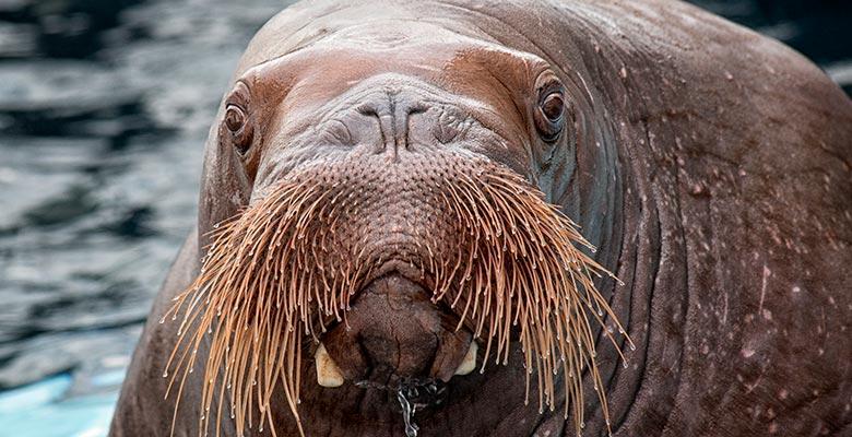 SeaWorld San Diego Walrus Mitik