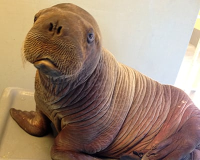 Get to Know Our Walruses Blog Walrus Image