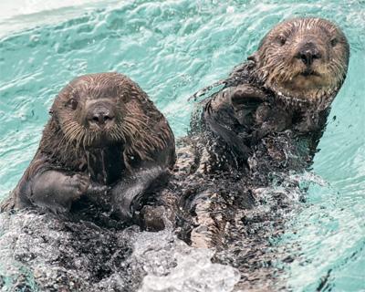 Blog Sea Otters Ocean Helpers