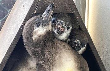 Humboldt Penguin Dads