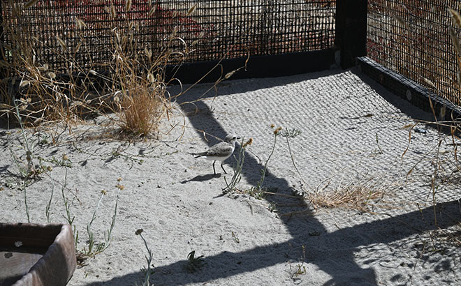 Rescued least tern and snowy plover