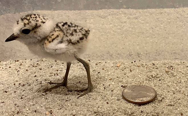 The Snowy Plover is very small but important for the local ecosystem in San Diego and the surrounding areas