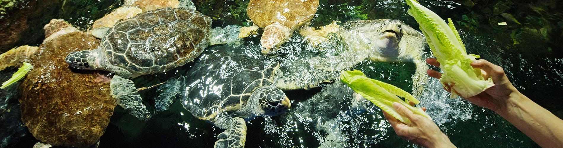 Watch Sea Turtles feed at SeaWorld San Diego