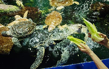 Watch Sea Turtles feed at SeaWorld San Diego
