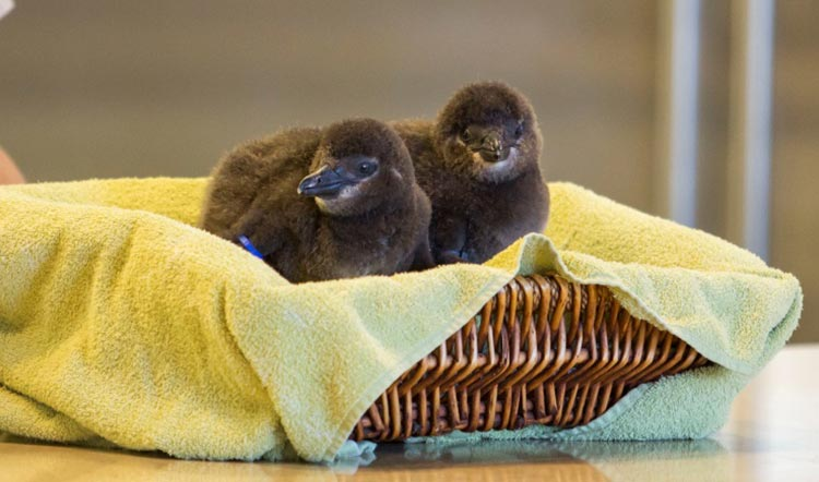 Busch Gardens Tampa Bay Baby Penguins