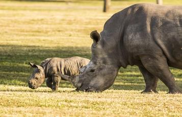 Baby Rhino at Busch Gardens Tampa Bay