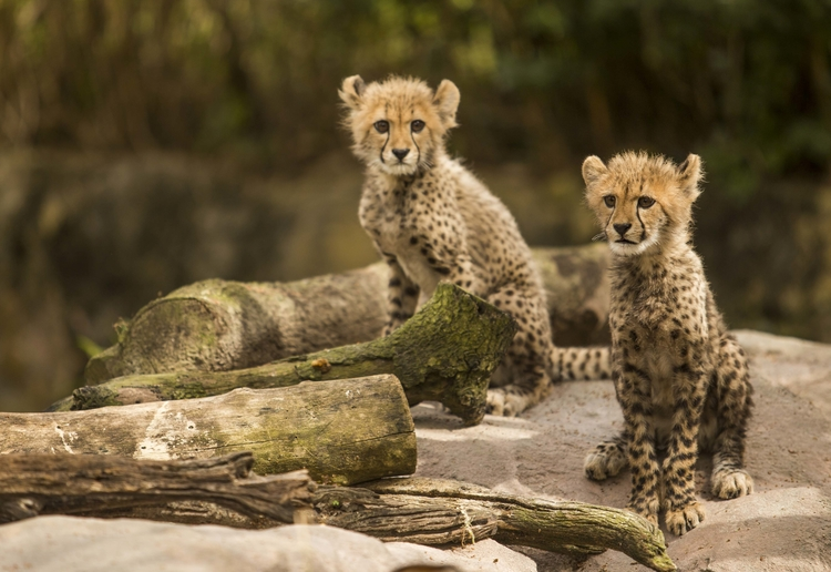 Cheetah Cubs at Busch Gardens Tampa Bay