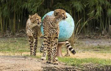 Cheetah Enrichment at Busch Gardens Tampa Bay