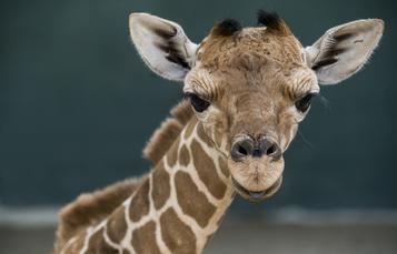 Giraffe Calf at Busch Gardens Tampa Bay