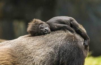 Baby Gorilla at Busch Gardens Tampa Bay