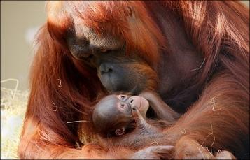 Baby Orangutan at Busch Gardens Tampa Bay