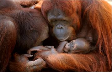 Orangutans at Busch Gardens Tampa Bay