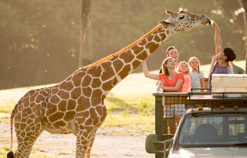 Serengeti Safari at Busch Gardens Tampa Bay