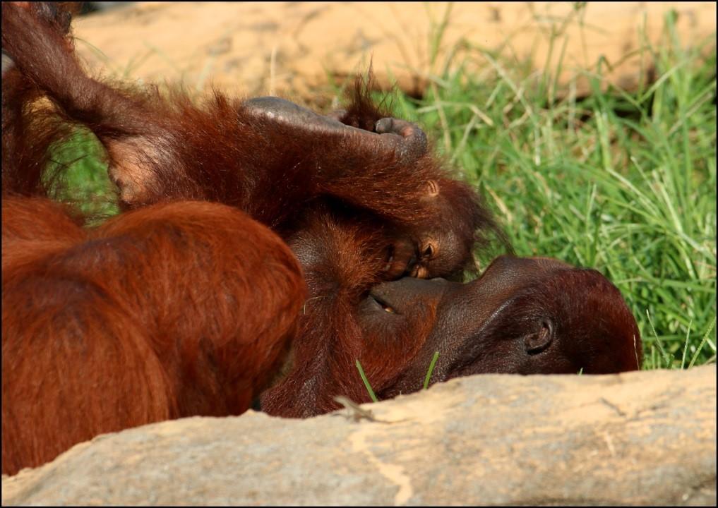 orangutan parent and offspring