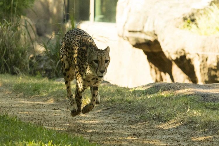 Cheetah Running at Busch Gardens Tampa Bay