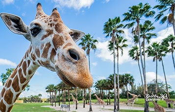 Giraffe Video Conferencing Background