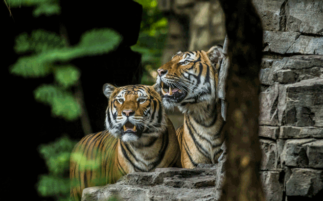 Learn how Tigris will help aid Tiger conservation