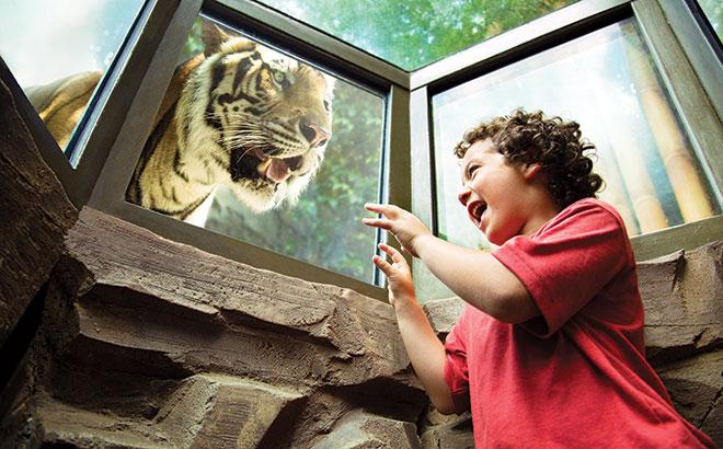 A young Busch Gardens guest imitates a tiger