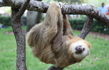 Sloth hanging from a log at Busch Gardens