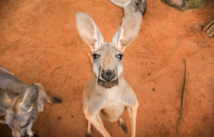 Kangaroo Ambassador at Busch Gardens Tampa Bay
