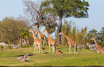 See the Serengeti Plains at Busch Gardens Tampa Bay
