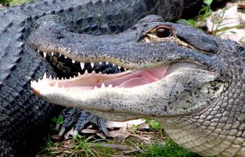 American Alligators at Busch Gardens Tampa Bay