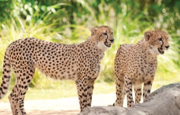 Cheetahs at Busch Gardens Tampa Bay