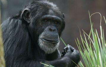 Chimpanzees at Busch Gardens Tampa Bay