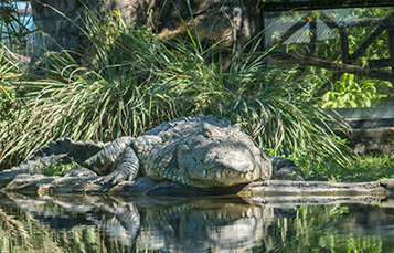 See the Crocodile at Busch Gardens Tampa Bay
