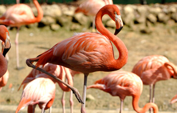 Flamingos at Busch Gardens Tampa Bay