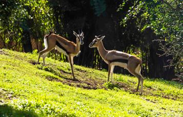 Grants Gazelles at Busch Gardens Tampa Bay