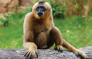 See the Gibbon at Busch Gardens Tampa Bay
