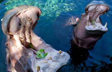 Hippos at Busch Gardens Tampa Bay
