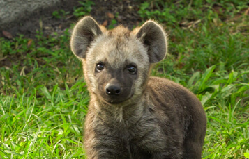 Hyenas at Busch Gardens Tampa Bay