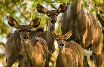See the Kudu at Busch Gardens Tampa Bay