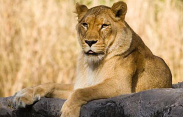 Lions at Busch Gardens Tampa Bay