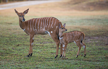 See the Nyala at Busch Gardens Tampa Bay