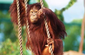 Bornean Orangutans at Busch Gardens Tampa Bay