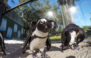 Penguins at Busch Gardens Tampa Bay