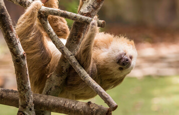 Sloths at Busch Gardens Tampa Bay