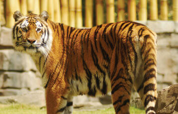 Bengal Tigers at Busch Gardens Tampa Bay