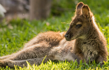 Wallabies at Busch Gardens Tampa Bay