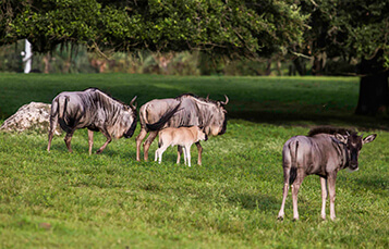 See the Wildebeest at Busch Gardens Tampa Bay
