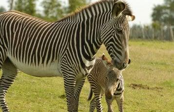 Grevy's Zebras at Busch Gardens Tampa Bay