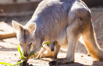 Wallaroos at Busch Gardens Tampa Bay
