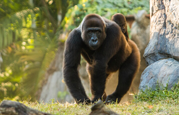 Gorilla Insider Tour