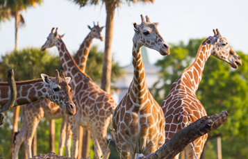 See Giraffes up close with the opportunity to feed them